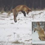 vos die een muis gaat vangen
