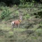 edelhert cervus elaphus 03