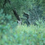 edelhert cervus elaphus 04