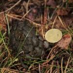 uitwerpselen edelhert cervus elaphus 05