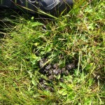 uitwerpselen edelhert cervus elaphus 10